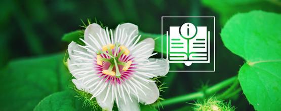 Passionflower - The Great Enhancer - Zamnesia Blog